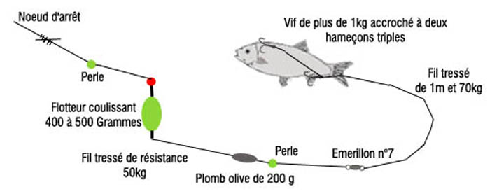 comment pecher le silure au vif
